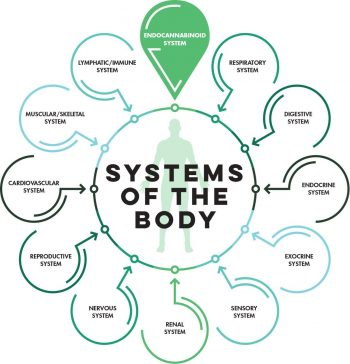 endo system functions